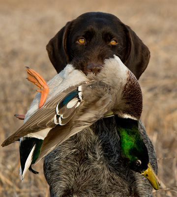 Duck hunting in Minnesota.