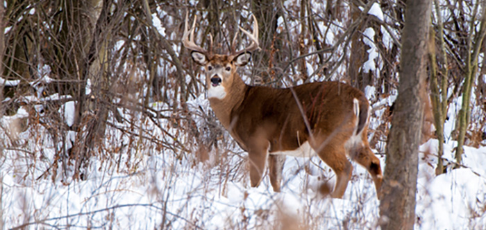 Whitetail deer are plentiful in the Chippewa National Forest at The Pines Resort.